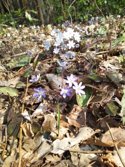 今日は、こちらに!越後の春一番〜!